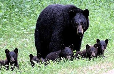 Black Bears Near Canmore, Alberta